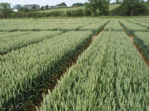 wheat_trial