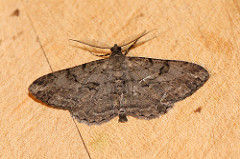 Willow Moth