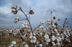 Cotton 18