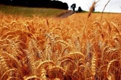 Wheat SM 189