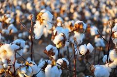 Cotton19